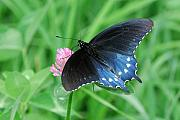 Pipevine Swallowtail Butterfly Prints - Pipevine Swallowtail on Clover Print by Alan Lenk