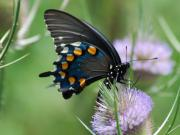 Pipevine Swallowtail Butterfly Prints - Pipevine Swallowtail Print by Randy Bodkins