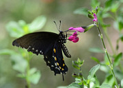 Pipevine Swallowtail Butterfly Prints - Pipevine Swallowtail  Print by Saija  Lehtonen