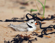 Tony Photos - Piping Plover by Tony Beck