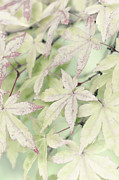 David Lade Prints - Pistachio maple Print by David Lade