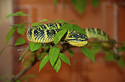 Curled Up Posters - Pit Viper Snake On Tree Branch Poster by Megan Ahrens