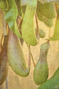 Pitcher Plants Posters - Pitcher Plant Poster by Jan Amiss Photography