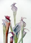 Ecology Originals - Pitcher Plants by Mindy Newman