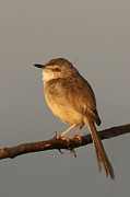 Bangalore Prints - Plain Prinia | Bangalore Outskirts Print by Soumyajit Nandy Photography