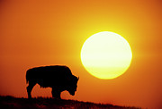 Sunlight Metal Prints - Plains Bison (bison Bison), Digital Composite Metal Print by Altrendo Nature