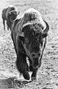 American Bison Prints - Plains Bison Print by James Marvin Phelps
