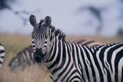 Masai Mara Prints - Plains Zebra Equus Burchelli With Eyes Print by Michael Nichols