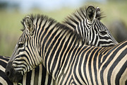 Zimbabwe Photos - Plains Zebra (equus Quagga) Pair, Haga Game Park, Harare, Zimbabwe by Christopher Scott