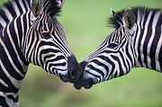 Love The Animal Photo Framed Prints - Plains Zebra (equus Quagga) Pair Interacting Framed Print by Heinrich van den Berg