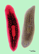 Biology Originals - Planaria by David Salter