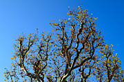 Plane Tree Photos - Plane Tree in Autumn by Louise Heusinkveld