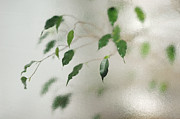 Vague Prints - Plant behind glass Print by Matthias Hauser