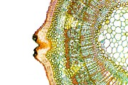 Cellular Metal Prints - Plant Breathing Pore, Light Micrograph Metal Print by Dr Keith Wheeler