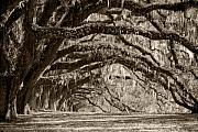 Live Oak Tree Prints - Plantation Drive Live Oaks Print by Dustin K Ryan