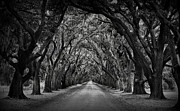 Live Oak Prints - Plantation Oak Alley Print by Perry Webster