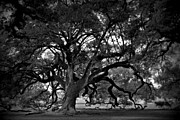 Live Oak Trees Posters - Plantation Oak Tree Poster by Perry Webster