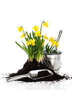 Potting Posters - Planting Daffodils Poster by Christopher and Amanda Elwell