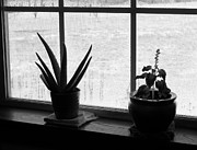 Windowsills Posters - Plants On Winter Windowsill - Black and White - Photography  Poster by Rebecca Anne Grant