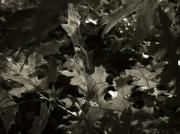 Jeff Breiman - Platinum Leaves 4
