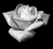 Macro Flower Prints - Platinum Rose Flower Print by Jennie Marie Schell