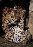 Jaguars Prints - Play Time Print by Cheri McEachin