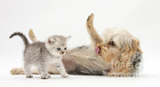 Felis Domesticus Prints - Playful Dog With Kitten Print by Mark Taylor