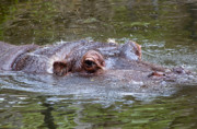 Hippopotamus Photo Posters - Playful Hippopotamus Poster by Kenneth Albin