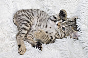 Susan Leggett Posters - Playful Kitten Poster by Susan Leggett