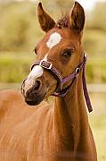 Mare Photo Originals - Playful Young Foal  by Mark Hendrickson