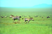 African Animals Photo Posters - Playfull Zebras Poster by Sebastian Musial
