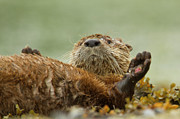 Otter Photos - Playing in Popweed by Tim Grams