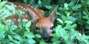 Fawn Photos - Playing Peekaboo by Sandra Bronstein