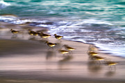 Florida Birds Prints - Playing Pipers Print by Betsy A Cutler East Coast Barrier Islands