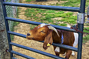 Billy Photos - Please Exonerate Me - Billy Goat by Madeline Ellis