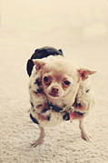 Chihuahua Posters - Please Meet Zoe Poster by Laurie Search