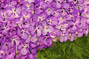 Flower Gardening Prints - Plenty Of Violet Orchids Print by Buchachon Petthanya