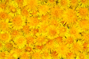 Colorful Dandelions Photos - Plenty of yellow spring flowers - dandelions by Jacek Sopotnicki