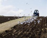 Flying Seagull Art - Ploughing With Seagulls, Co Down by The Irish Image Collection