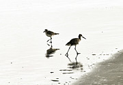 Sandpiper Acrylic Prints - plover and Godwit Acrylic Print by Marilyn Hunt