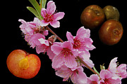 Ripe Photos - Plum Beautiful by Michael Peychich