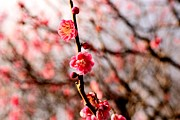 Plum Blossoms Prints - Plum Blossoms Print by Dean Harte