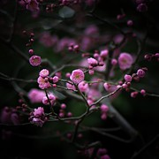 Square Art - Plum Blossoms by I love Photo and Apple.