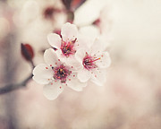 Dappled Light Photo Metal Prints - Plum Blossoms Metal Print by Lisa Russo