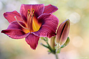 Daylily Posters - Plum Perfect Poster by Heidi Smith