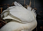 White Swan Photos - Plumage by Odd Jeppesen