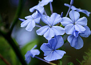 Florida Flowers Framed Prints - Plumbago Framed Print by Sabrina L Ryan