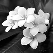 White Flowers Prints - Plumeria - Black and White Print by Kerri Ligatich