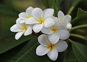 White Flowers Prints - Plumeria - Golden Hearts Print by Kerri Ligatich