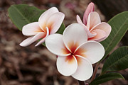 James Steele - Plumeria   Kona Hawii